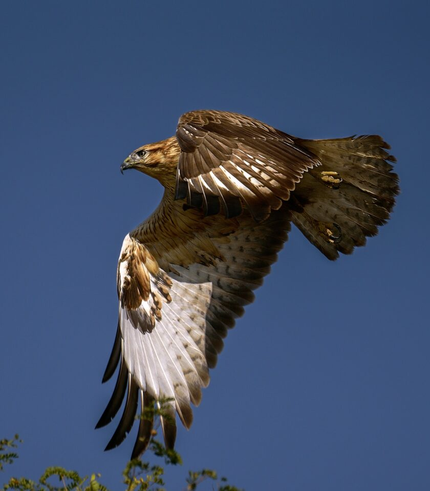 A hawk captured in flight with the Nikon D750 DSLR