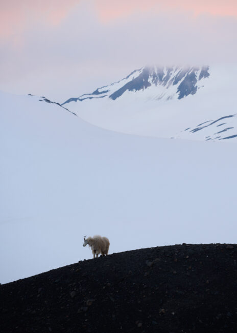 A mountain goat stands in front of a snowy mountain landscape.