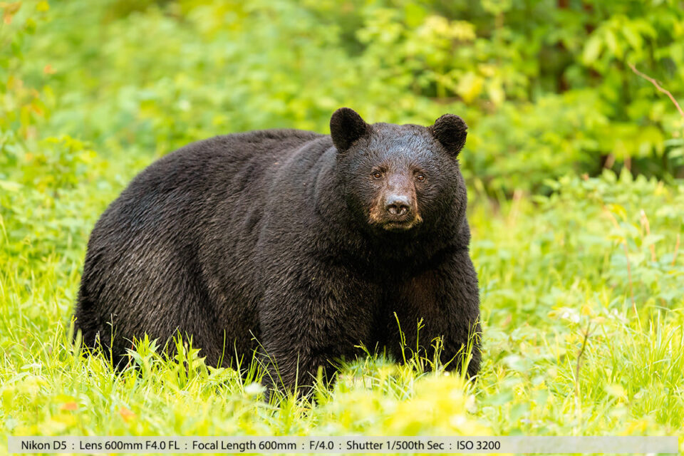 Large Male Black Bear Walking Field Late Evening