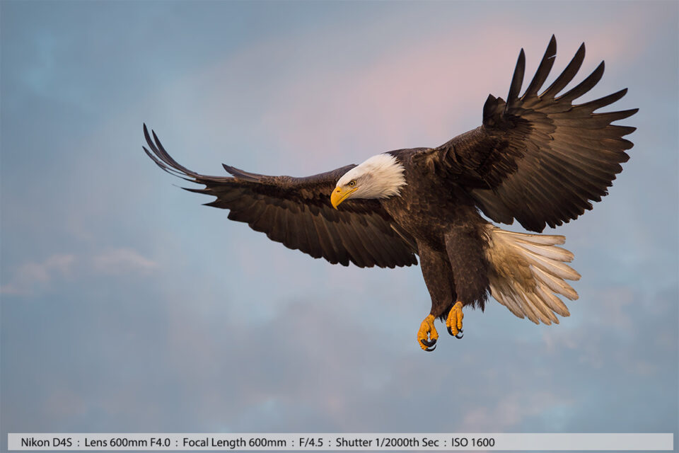 Bald Eagle in Flight with Beautiful Sky