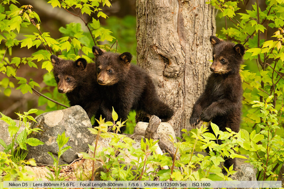 Three Tiny Black Bear Cubs at Base of Tree Late May
