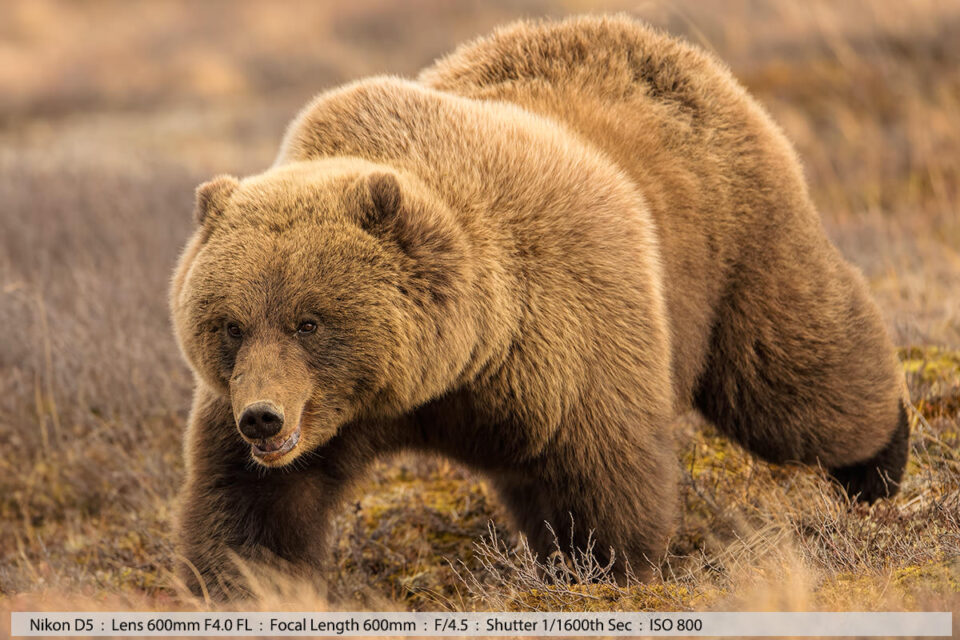 Large Grizzly Walking Denali Back Country