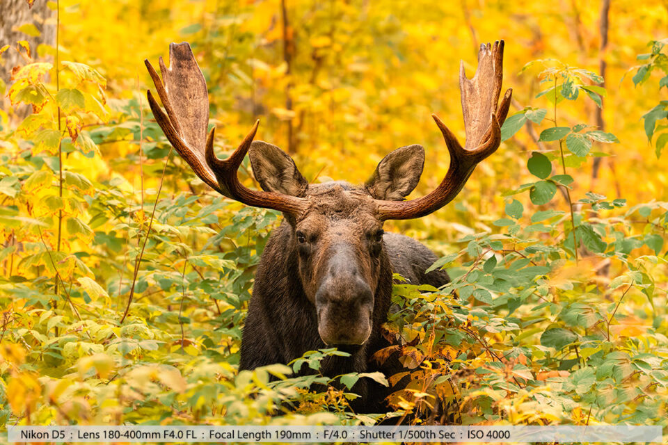 Bull Moose in Fall Foliage Setting Milan NH