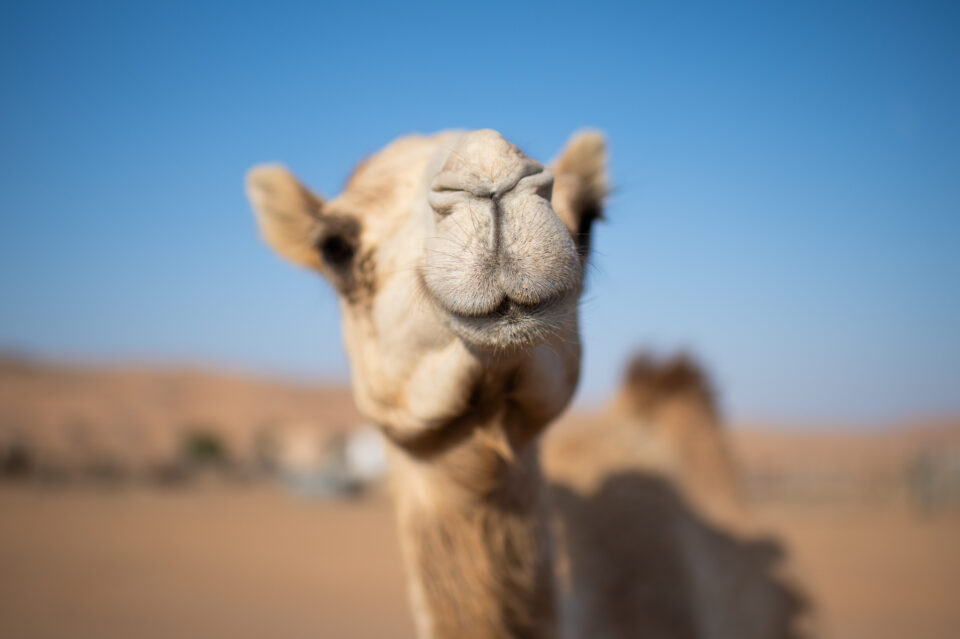Edited camel photo