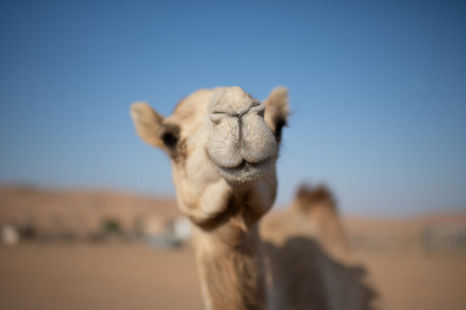 Refined camel photo
