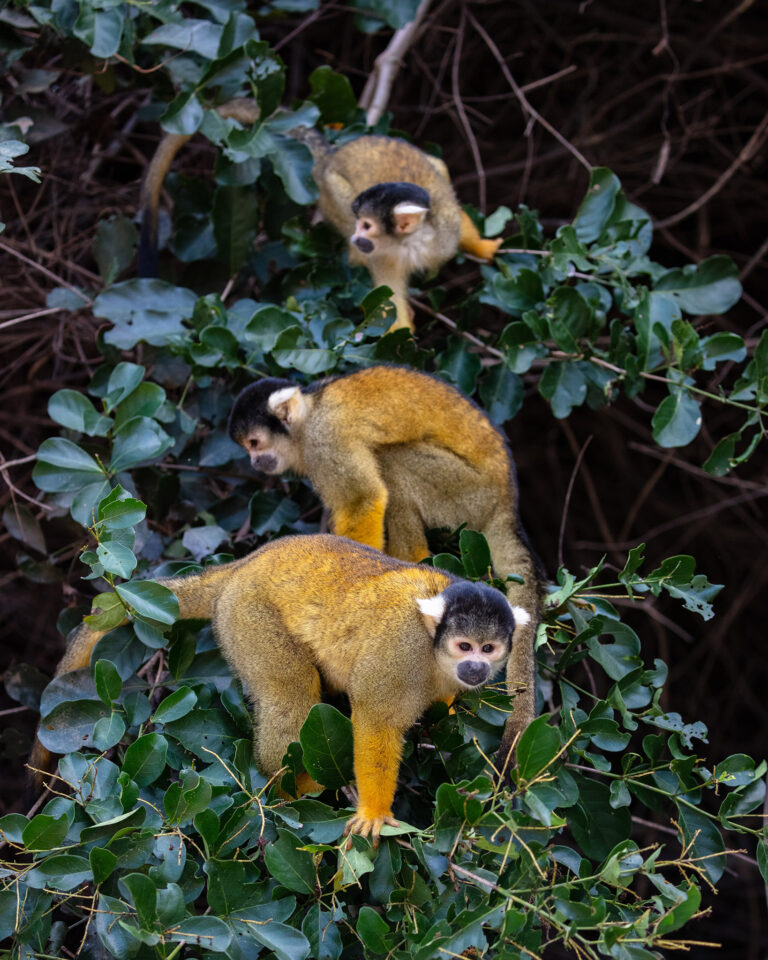 Three black-capped squirrel monkeys 03